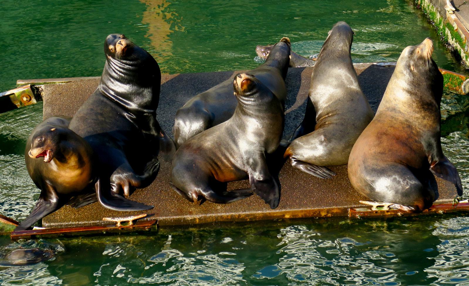 Bull sea lions